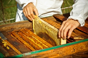 Worker bees on honeycomb, outdoor shot