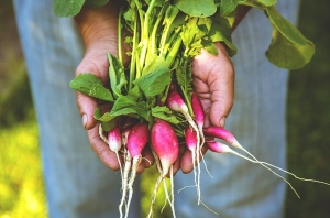 Radish in the hands of a farmer